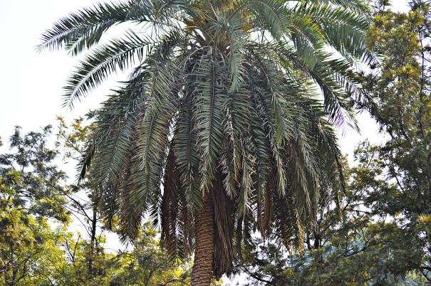 wild date palm1