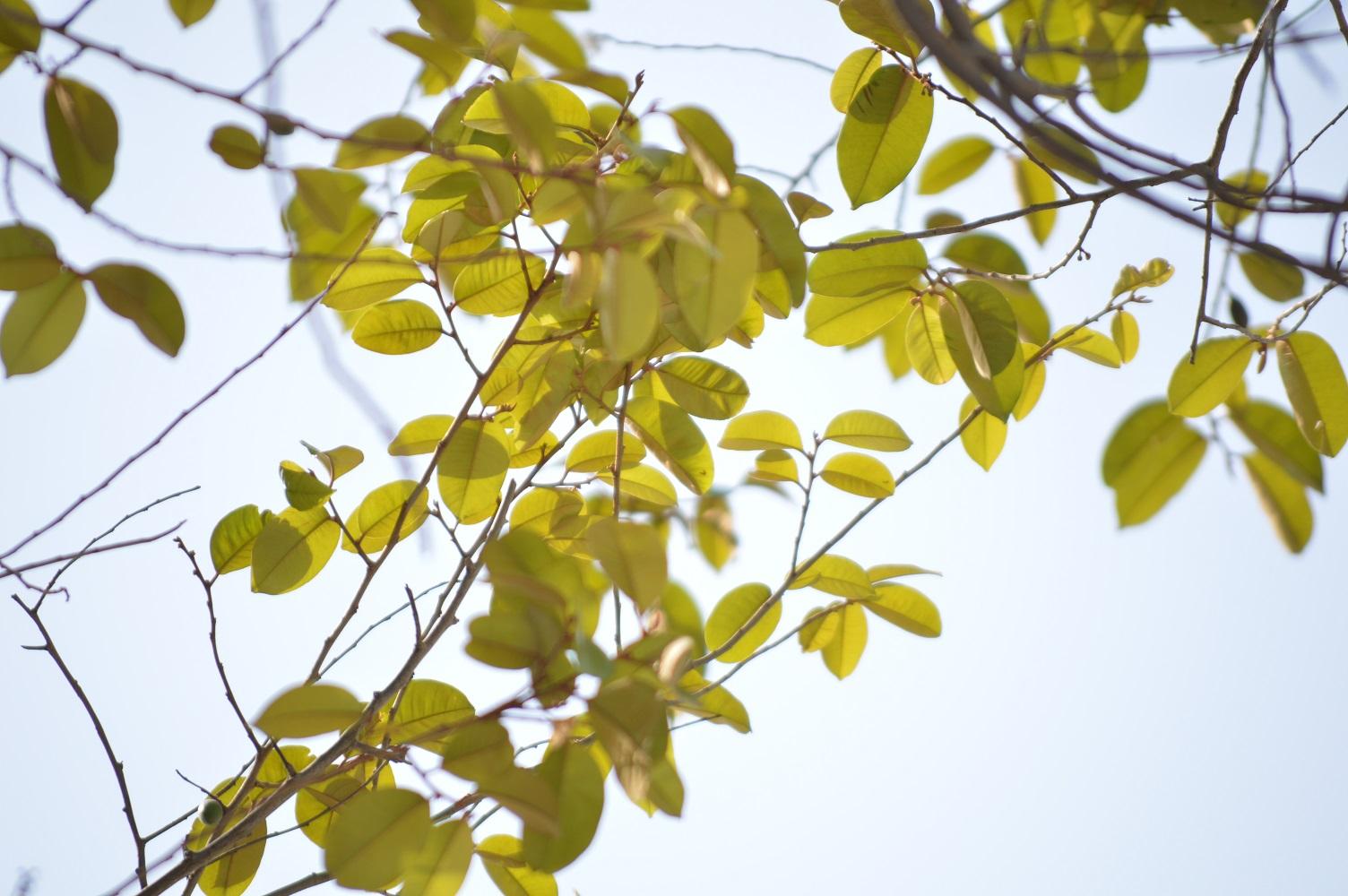 satin leaf
